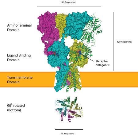 Transmembrane Domain
